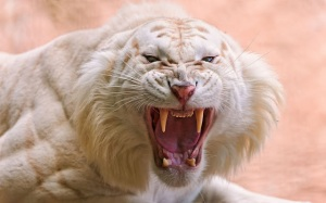 Tigre blanco realmente enojado - Angry white tiger